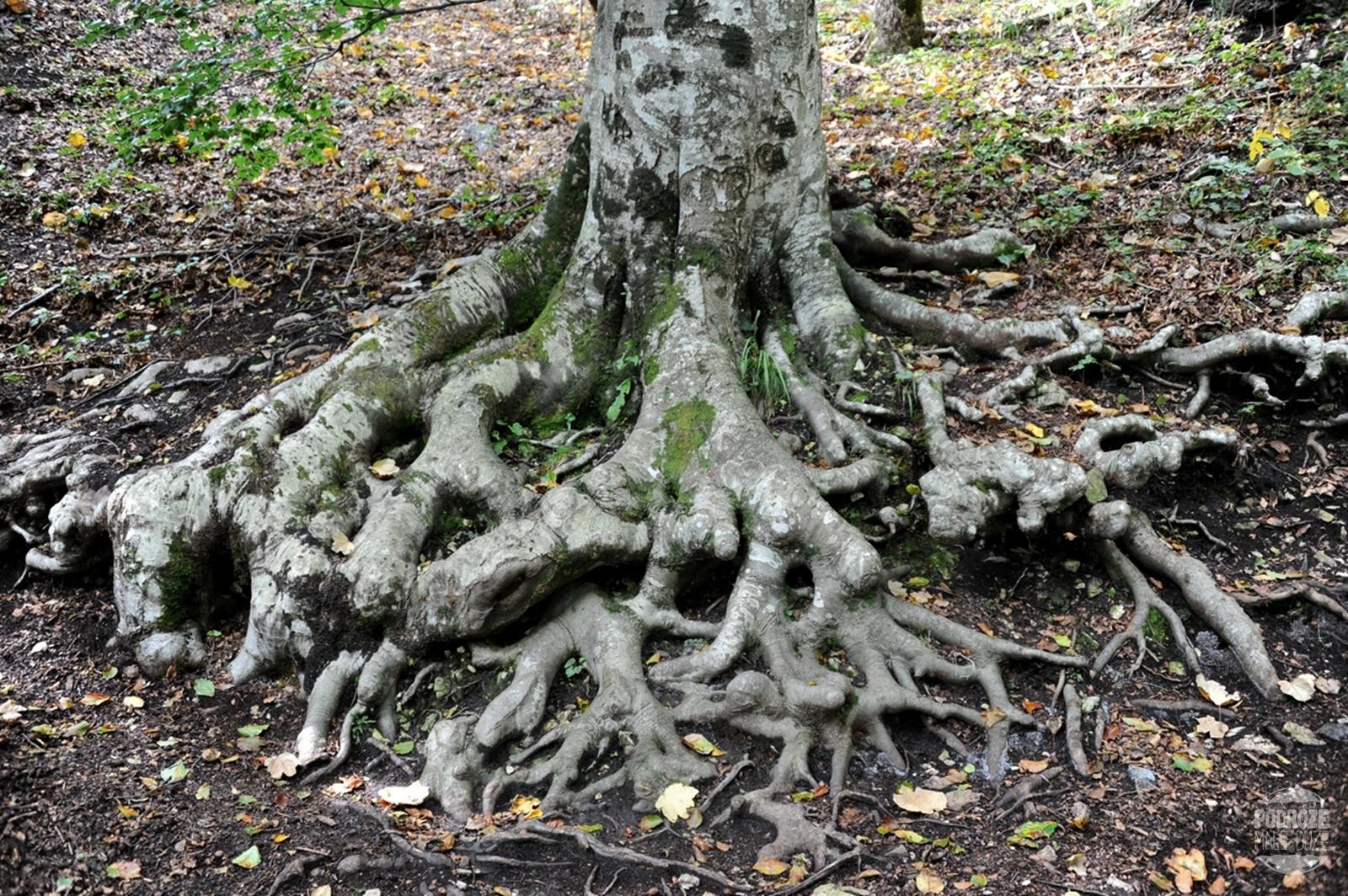 Chorwacja Jeziora Plitwickie Park Narodowy korzenie drzewa