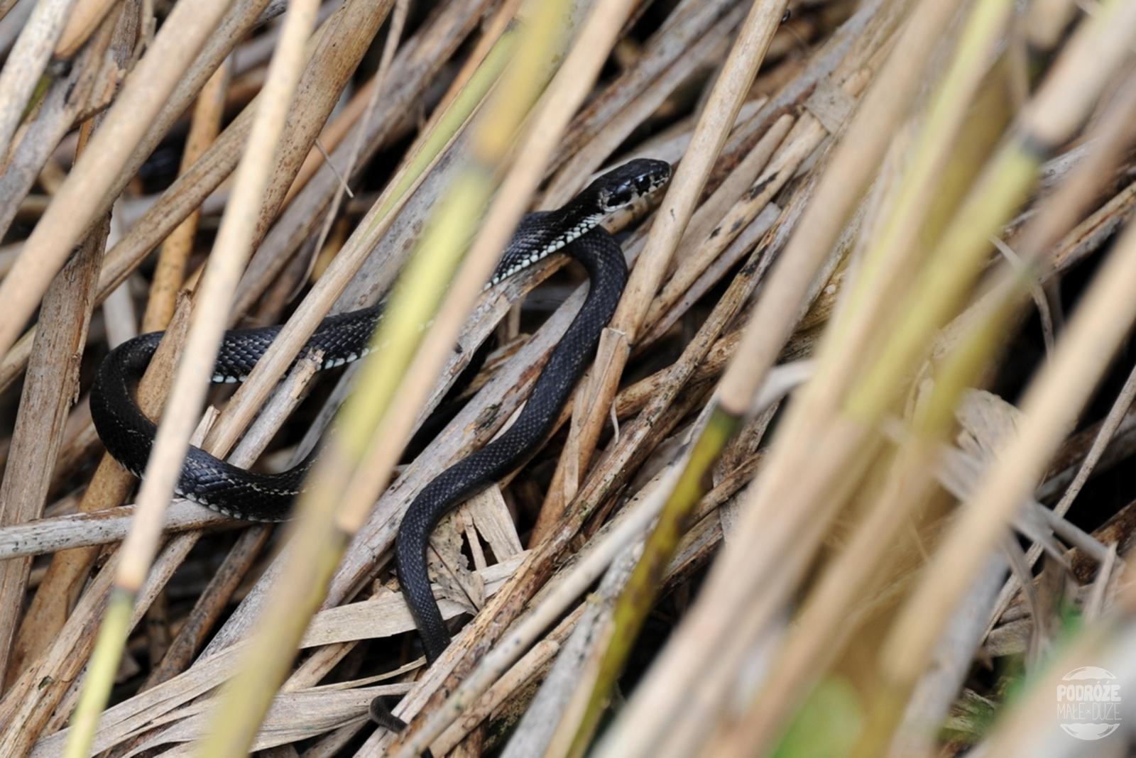Chorwacja Jeziora Plitwickie Park Narodowy wąż