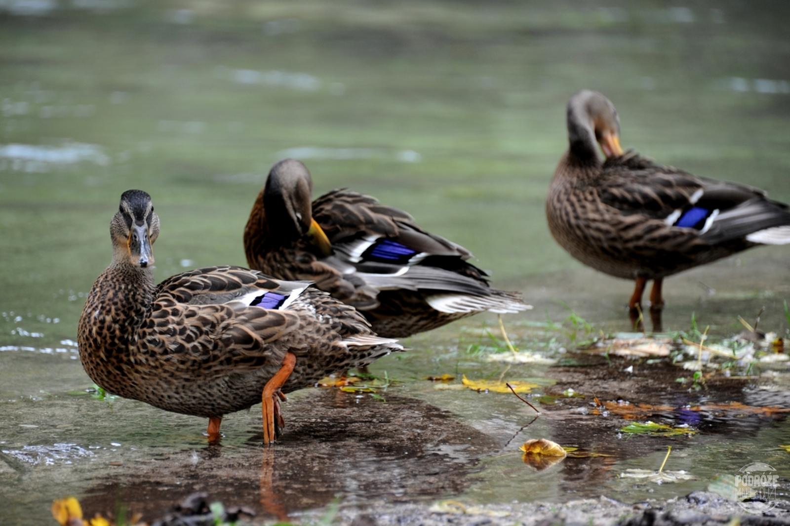 Chorwacja Jeziora Plitwickie Park Narodowy kaczki