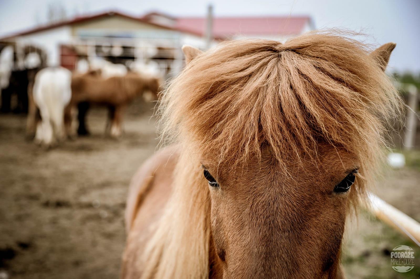 koniki konie Islandzkie