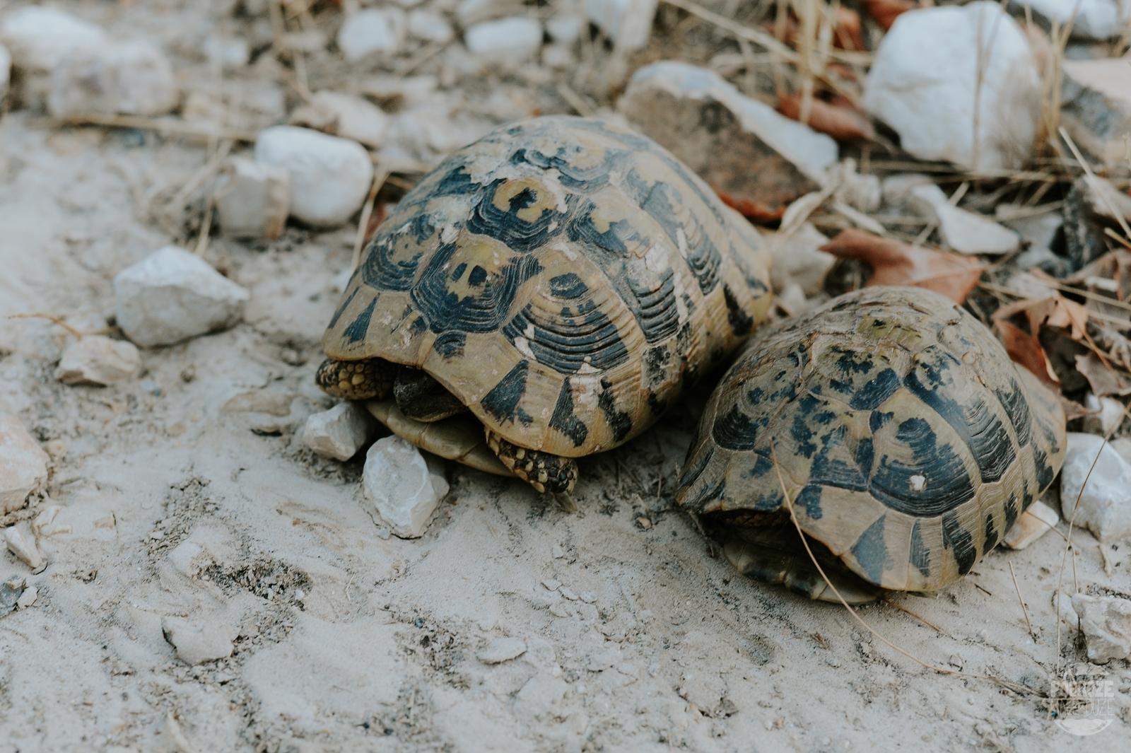 żółwie w Albanii