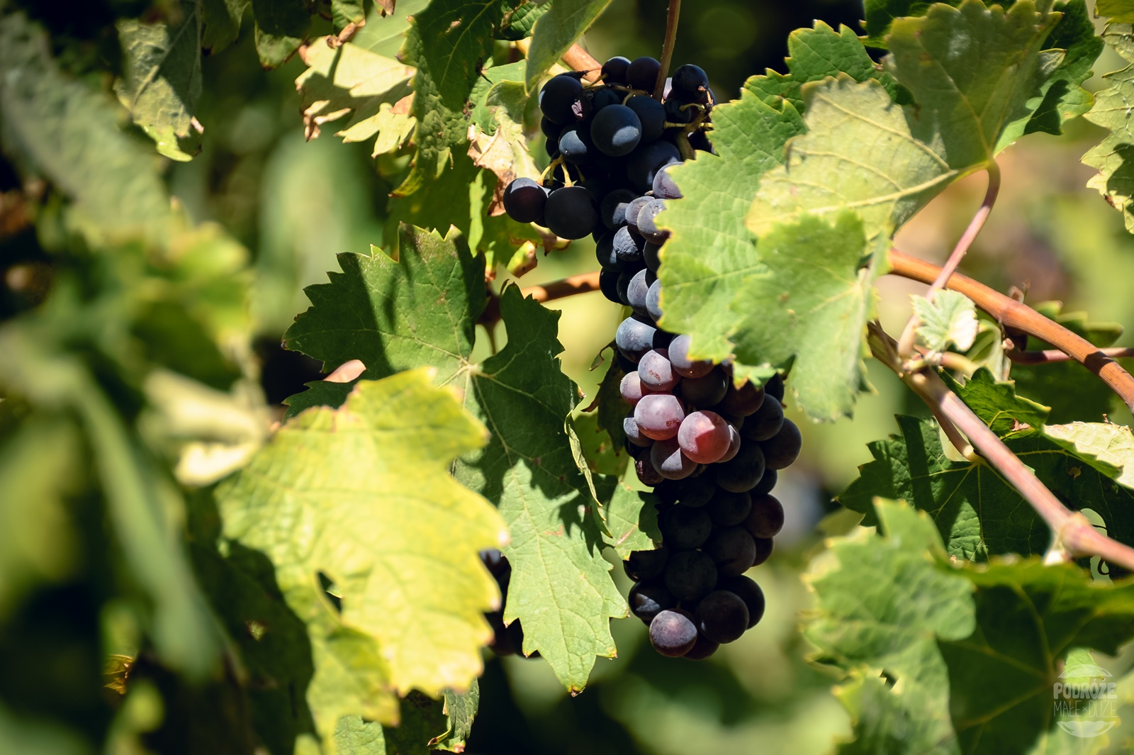 winogrona kreta