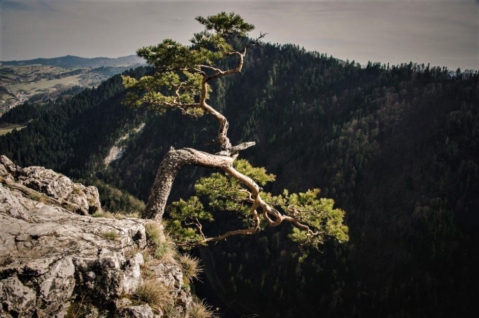 Pieniny Sokolica Sosna Reliktowa