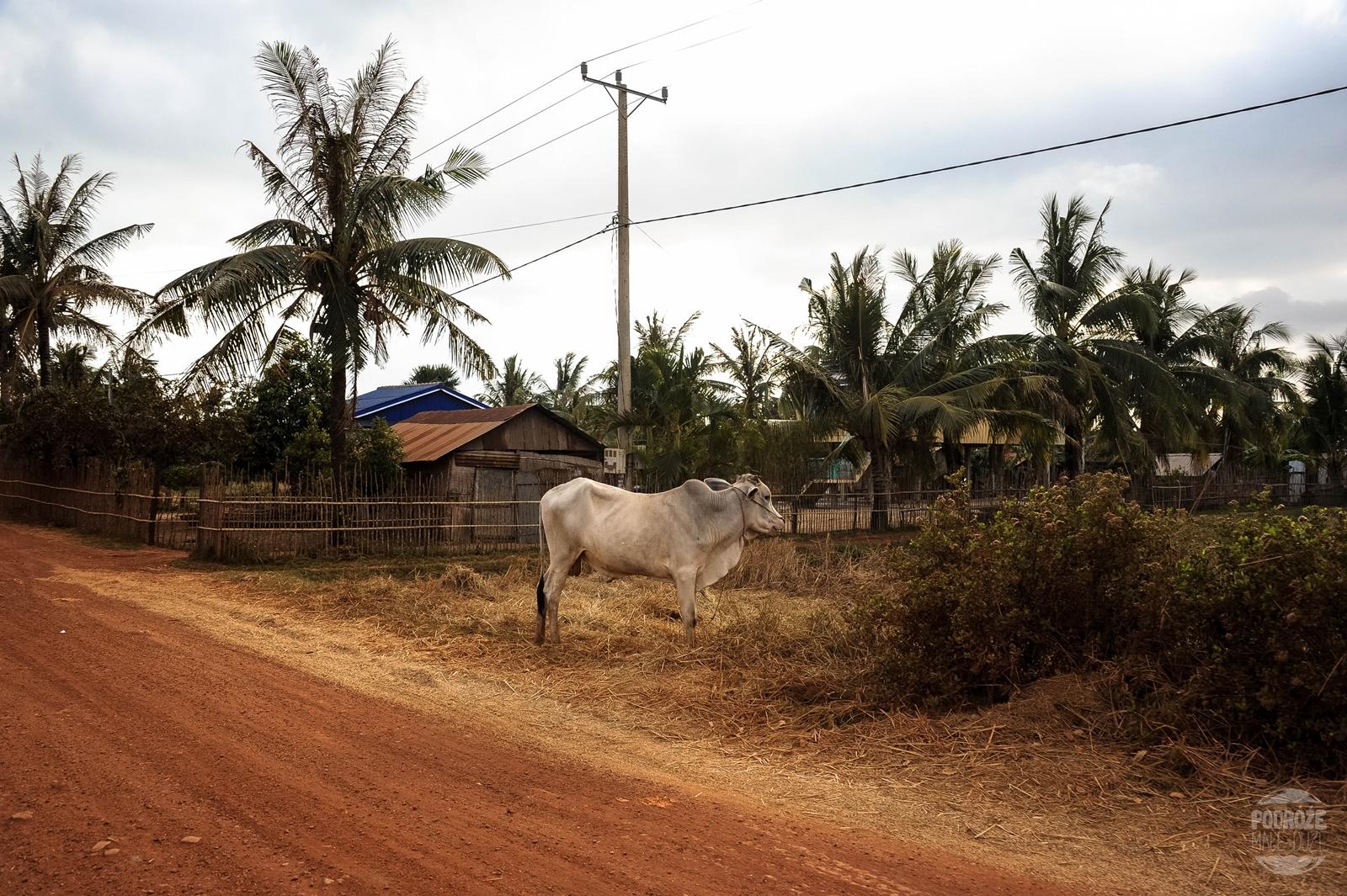 krowa kambodza kampot