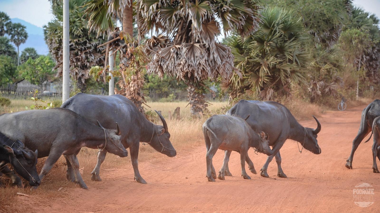kambodza wies kampot bawoly wodne