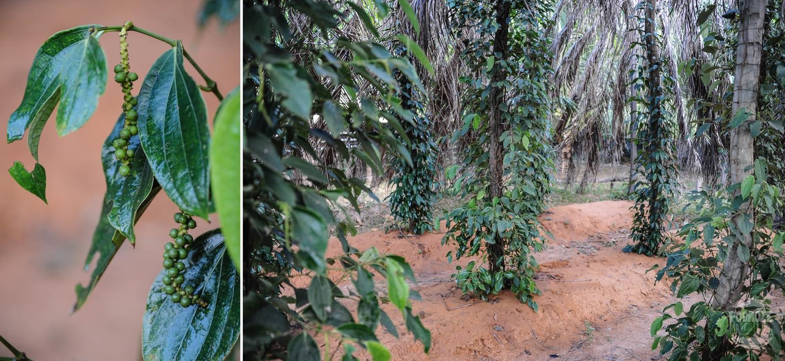 plantacja pieprzu kampot kambodza