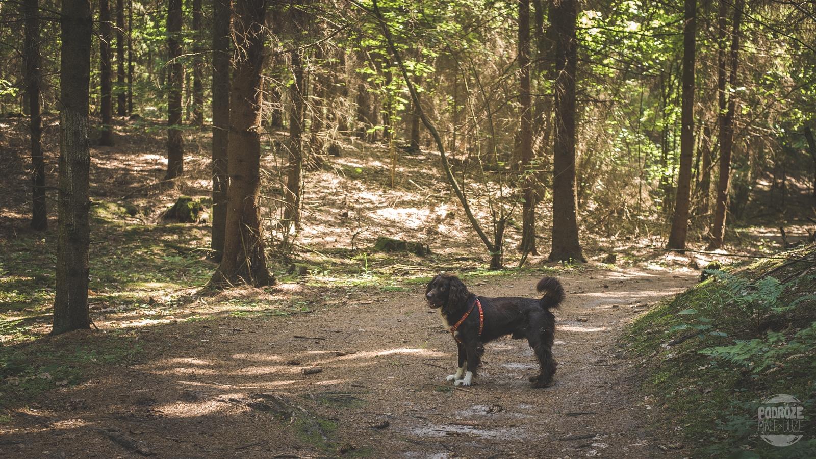 Warmia i Mazury las pies Springer Spaniel