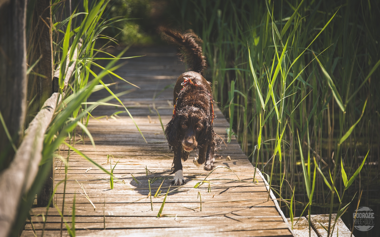 Warmia i Mazury jezioro pies Springer Spaniel