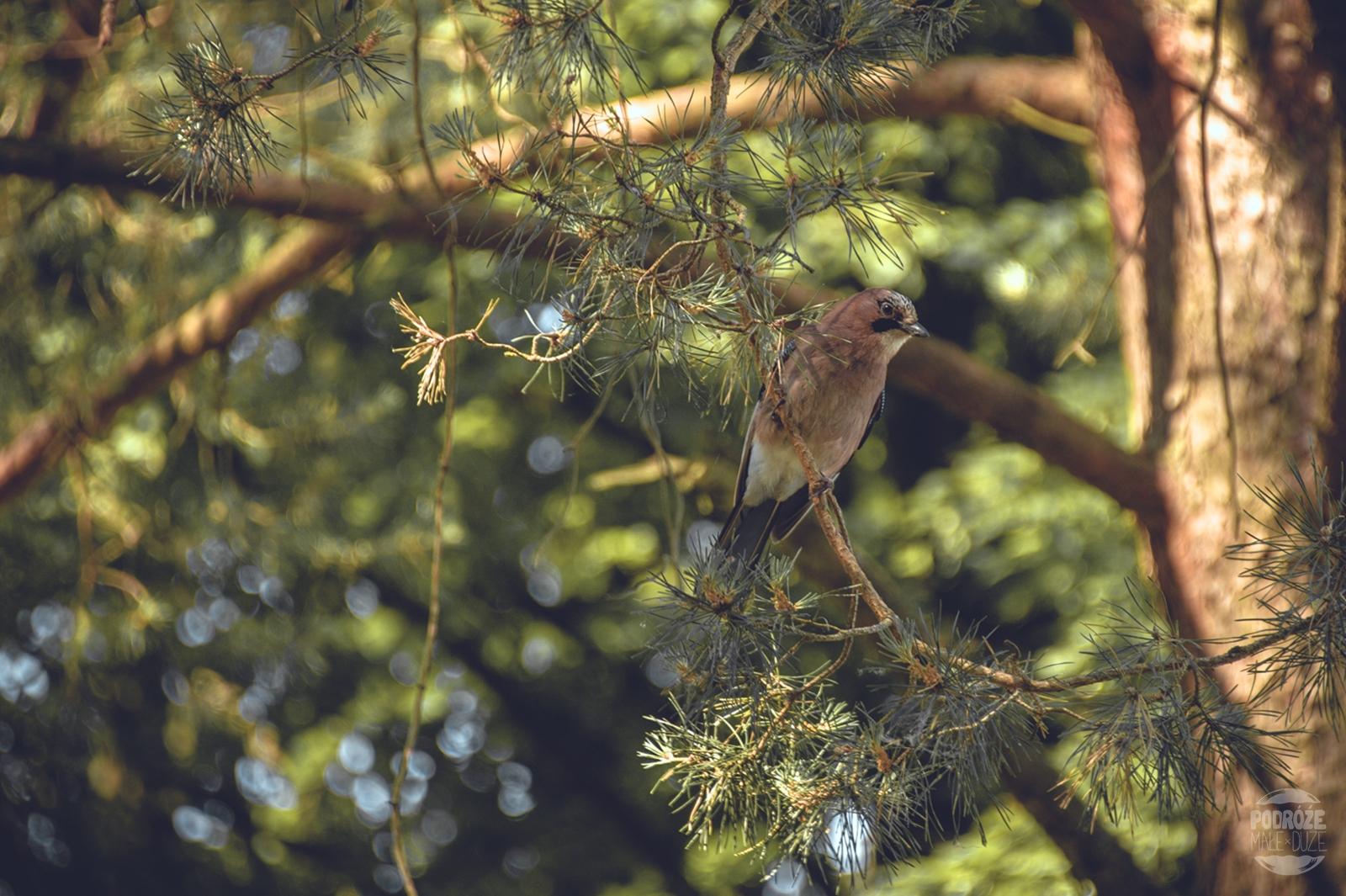 Warmia i Mazury jezioro boczne ptak sójka