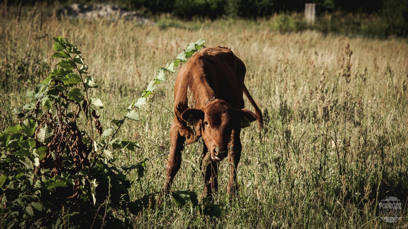 podlasie Narwianski Park Narodowy krowa