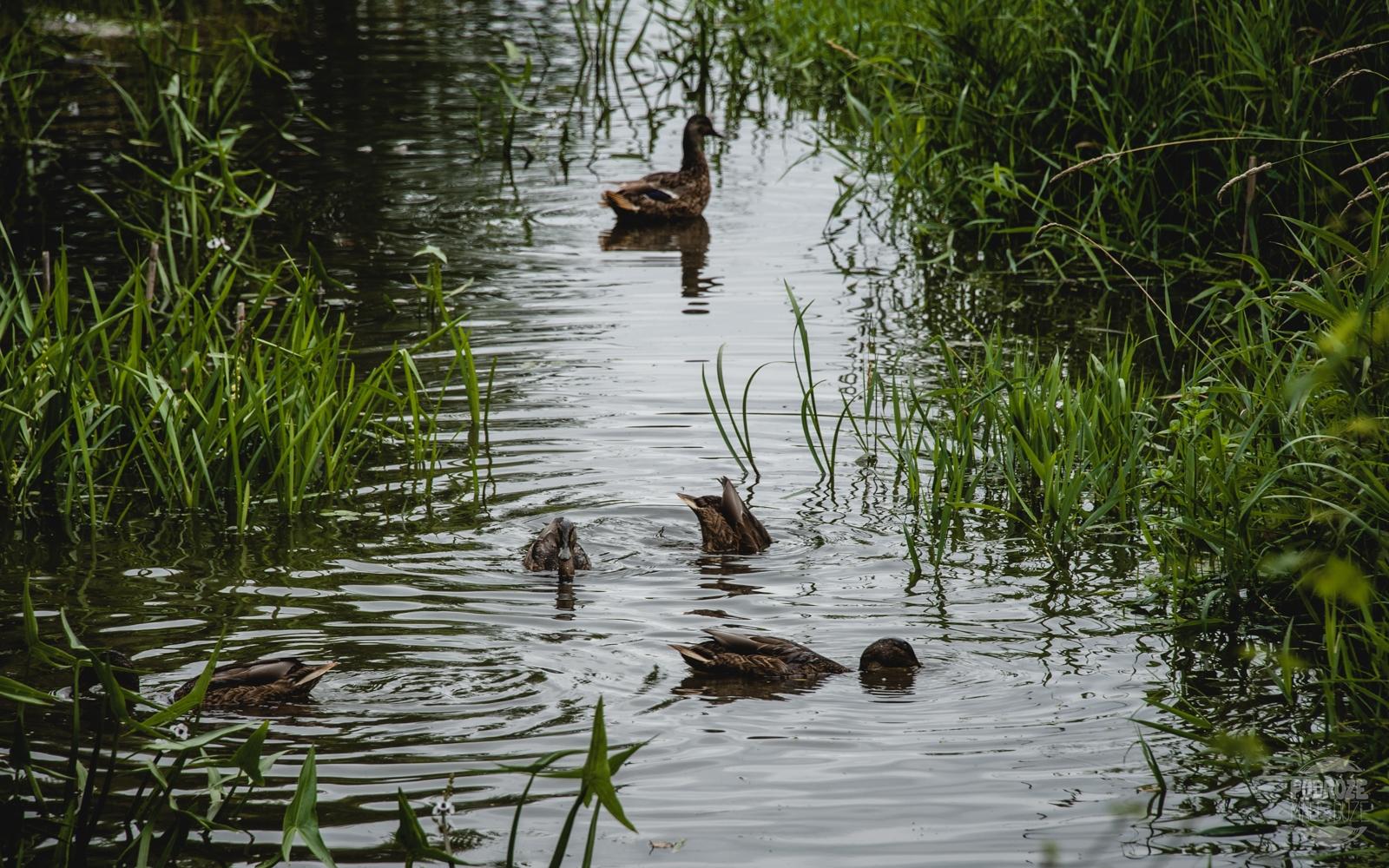 podlasie Narwianski Park Narodowy krowa Kurowo